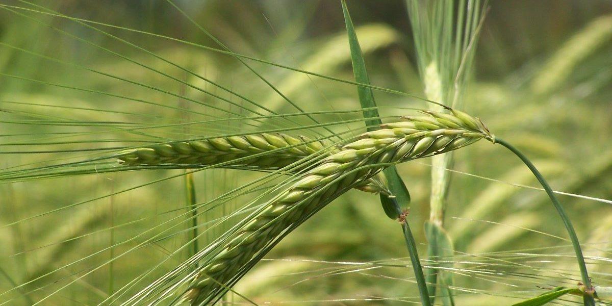 Vehnää pellolla